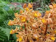 안면도 자연휴양림, 멸종위기 희귀식물 '으름난초 꽃 만개'